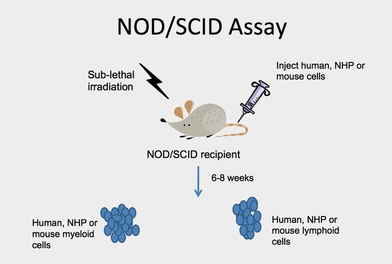 NOD / SCID Assay